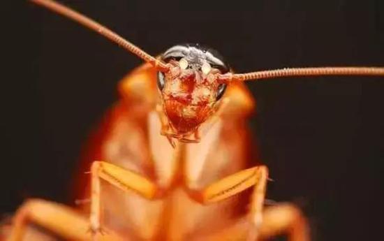 ▲蟑螂和恐龙生活在同一时代的彪悍物种(图片来自网络)