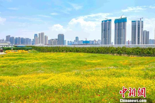 在进入盛花期的硫华菊、波斯菊、孔雀草在周围高楼的映衬下,显得更加娇美。武汉市园林和林业局供图
