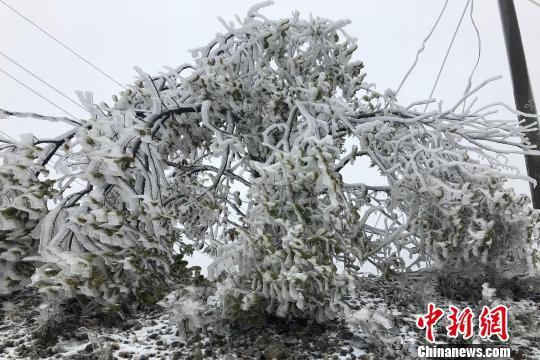 """""""春雪""""裹满树枝风景如画。 周祖熙 摄"""