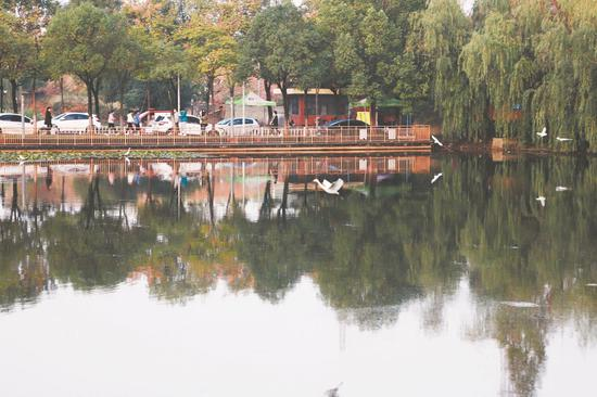 白鹭环绕着镜湖飞行