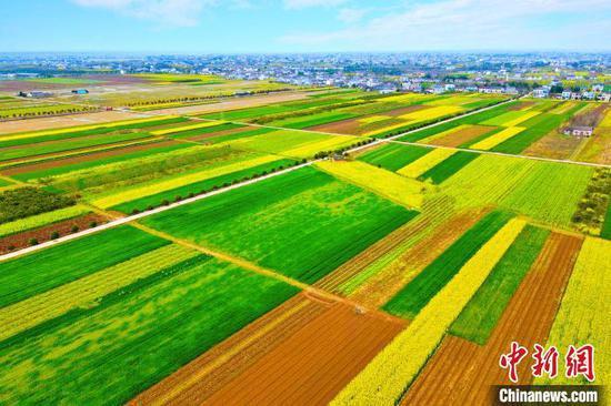 湖北枝江近万亩油菜花竞相开放。 陈黄奎 摄