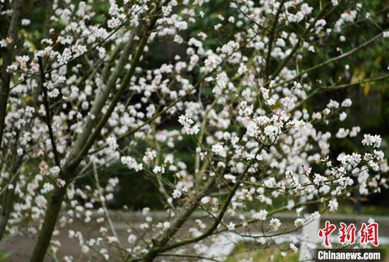 樱桃树一夜之间绽开满树繁花 陈泉霖 摄