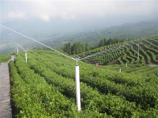 恩施市屯堡乡马者村茶园实施喷灌,促进节水。