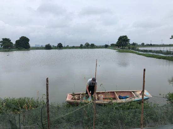 """为减轻湖堤压力,缩小洪湖和三八湖鱼塘的水位差,需抽洪水进入鱼塘进行""""灌水反压""""。由于鱼塘的水位发生变化,鱼塘里的水草会烂,部分虾蟹会死亡,需要及时清理。"""