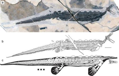 卡洛董氏扇桨龙化石照片及素描图 中国地质调查局供图
