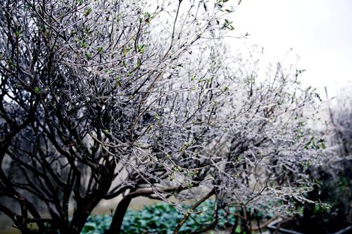 孝昌城区煕庐盆景植物园出现了雾凇、冰凌景观。