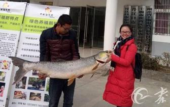 钓友汉江内钓起53斤巨型野生鳡鱼