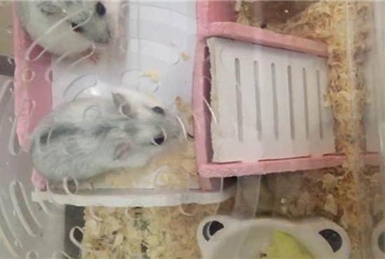 携带的6只仓鼠