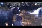 熊宝宝不敢过小溪 被熊妈妈强行拽着过
