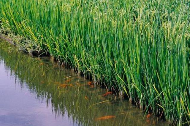 武汉要用25万亩稻田养小龙虾 市民可从3月吃到11月