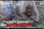 小猴误触高压电线死亡 猴妈妈抱尸数日不舍