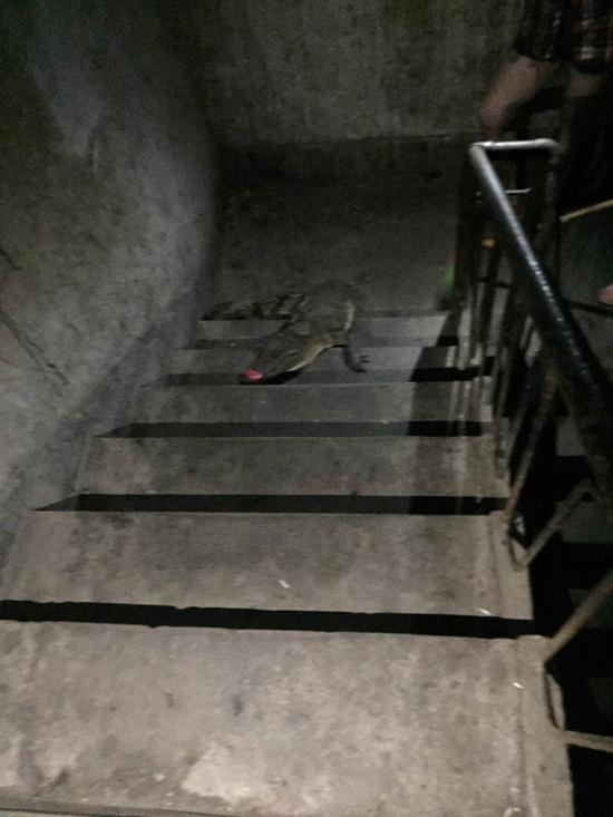 夫妻出门在楼梯间踩到一条鳄鱼