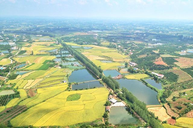 湖北枝江水稻成熟 金黄大地描绘丰收画卷