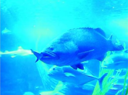 石斑鱼一口吞掉近一米的黑鳍鲨