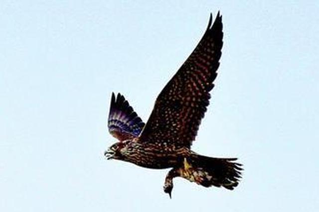 世界上飞得最快的鸟游隼现身潜江捕猎 场面惊险刺激