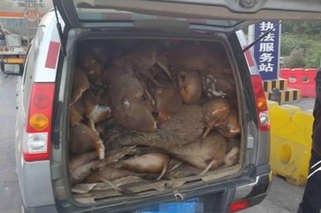 两千斤野生动物尸体藏车内 司机谎称是杂交猪