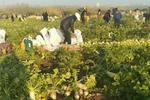 武汉:谣言引千人拔光百万斤萝卜 损失30万仅收回八百