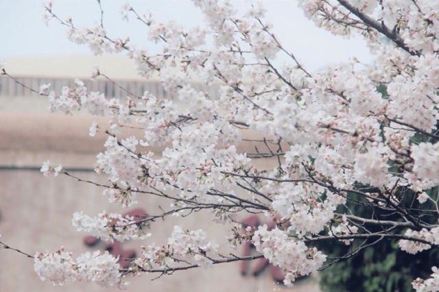 武汉大学赏樱预约开启 浪漫樱花雨分分钟美哭