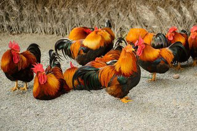 注意!武汉限养区散养畜禽年底将全部退养