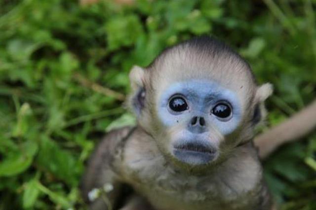 神农架大龙潭喜添6只金丝猴宝宝