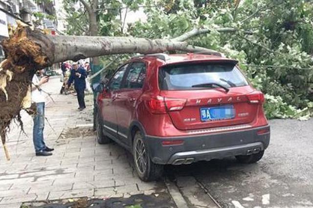 武汉昨日突刮疾风吹倒路边大树 两辆小车遭砸损