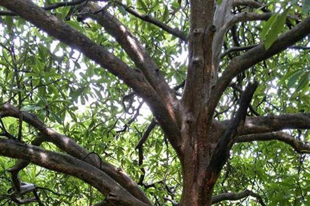 湖北一棵批杷树树龄超150岁 引大量游客来参观