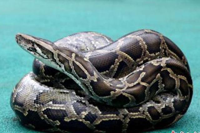 印尼女子被8米巨蟒吞噬 村民剖开蛇肚找到尸体