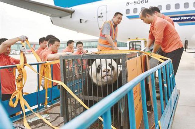 依依不舍中 旅居武汉十载的大熊猫伟伟作别江城回家