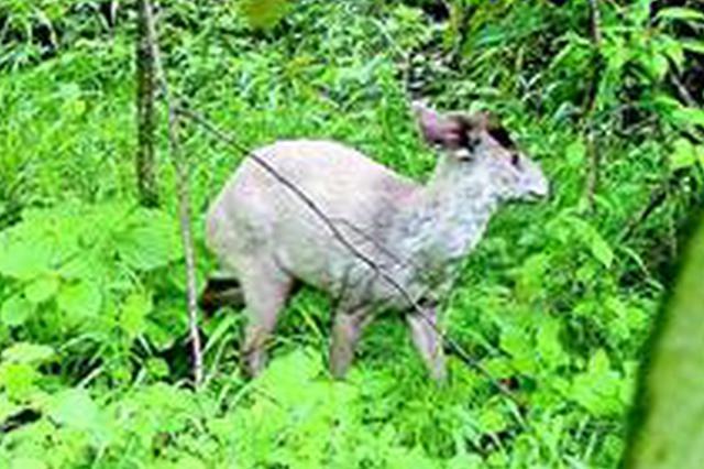 神农架发现白化毛冠鹿 首次拍到白化动物影像(图)