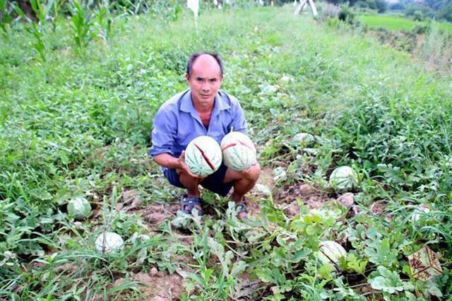 孝感2亩西瓜地一夜之间全被砍烂 警方介入调查