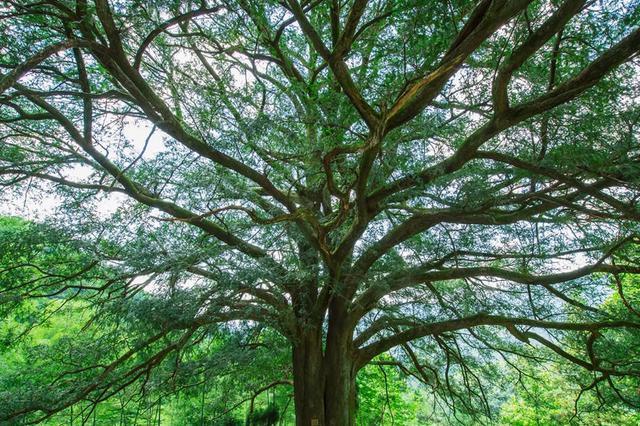 湖北一地现香榧树 估测树龄在980年至1200年间