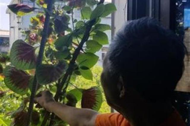 武汉一爹爹窗台种菜获惊喜 一株苋菜长到1.3米高