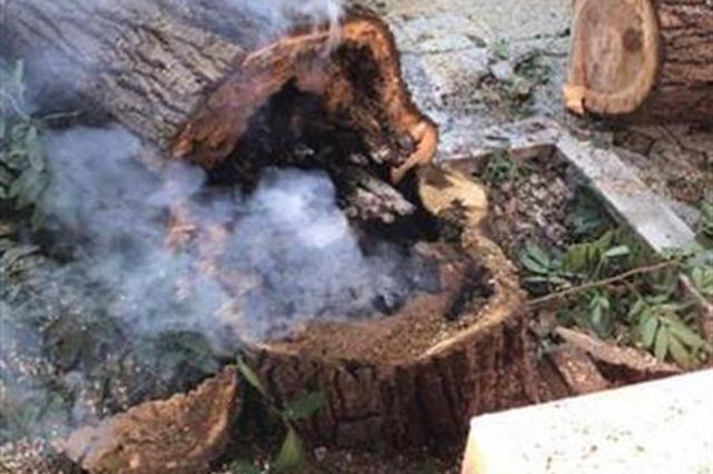 武汉城区持续多日超39℃ 一棵枫杨树热得冒烟(图)