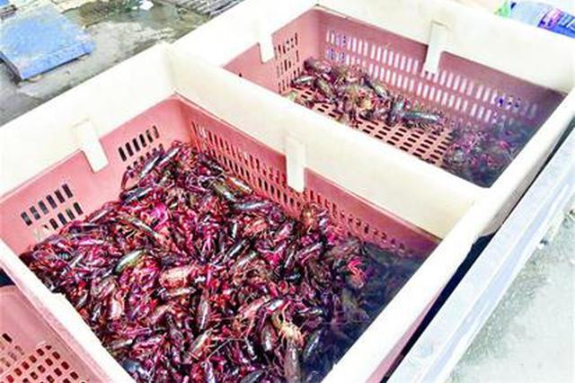 小龙虾价格进入翘尾期 最贵每斤50多元