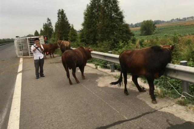湖北一运牛货车高速侧翻 5头牛逃出后在高速上乱窜