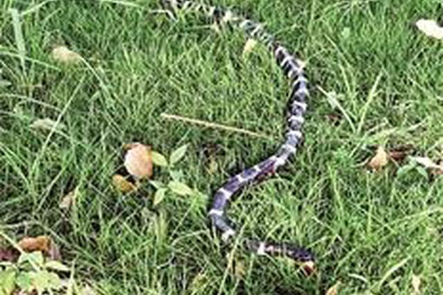 武汉纺大校园惊现2条剧毒银环蛇 校园内已发现3次
