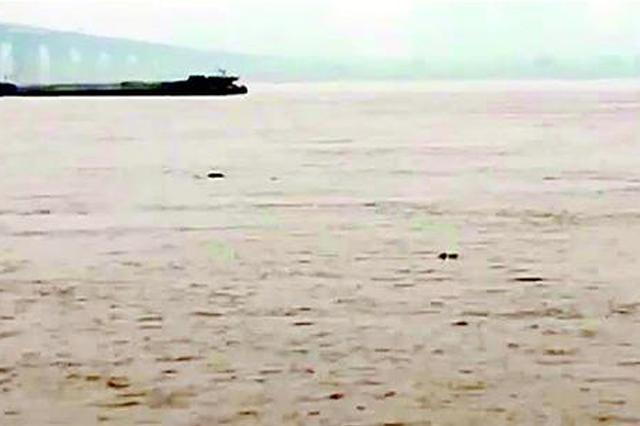 十多头江豚戏水青山江面 长江武汉段已多年未见江豚