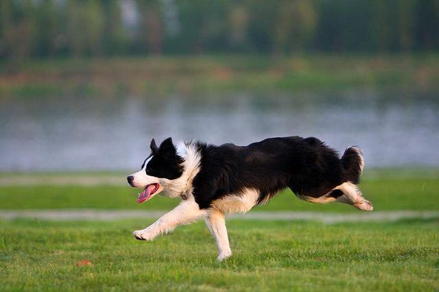 黃石一保安養牧羊犬看門 不想小偷連狗一起偷走了