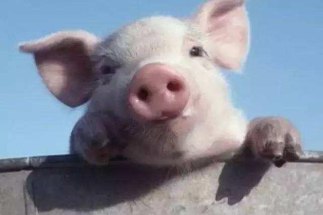 武汉男子被母猪咬断拇指 出院表示还得照顾肇事猪