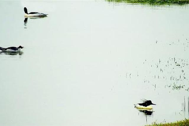 松滋洈水湿地迎来今年首批中华秋沙鸭(图)