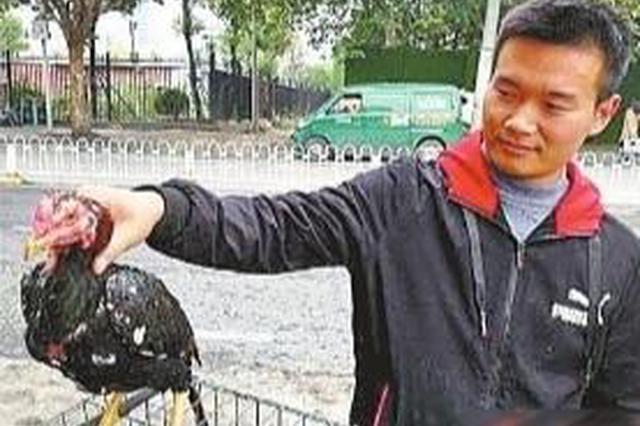 男子养斗鸡年收入超3万 一只超级斗鸡可卖10万