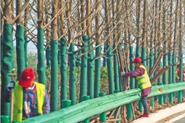 江北快速路将变身水杉大道 全线绿化下月完工