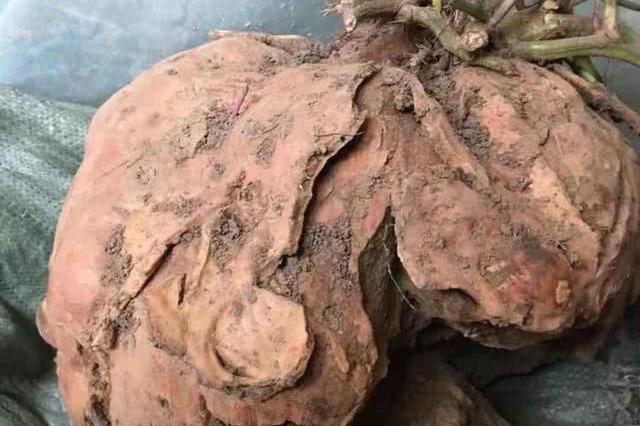 湖北一地发现最大红薯 重达50斤外形酷似虎头