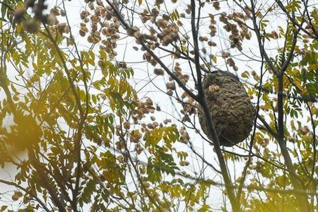 武汉一单位后院内马蜂窝高悬树上 有人猜测是杀人蜂