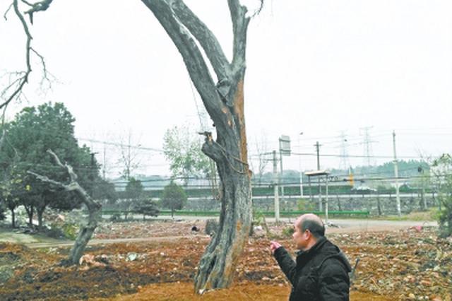 黄陂30多位外迁村民 赶回轮班救护300岁古树