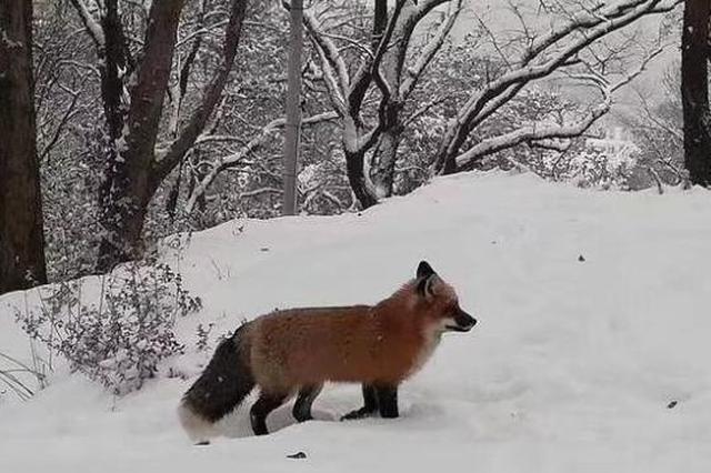 武大网红狐狸现身珞珈山 重现雪山飞狐画面