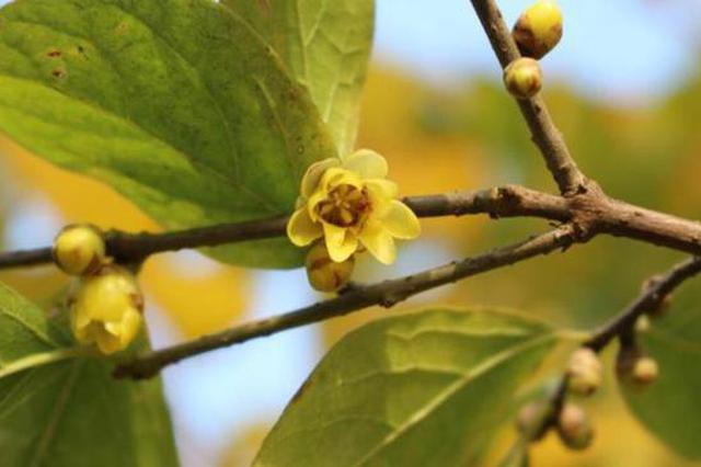 武汉市园林和林业局食堂附近有花无叶的蜡梅 记者贺方程 摄