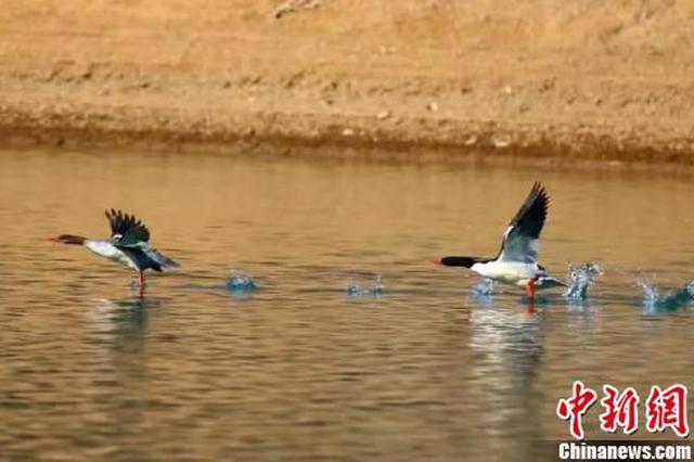 136只中华秋沙鸭飞抵湖北洈水越冬