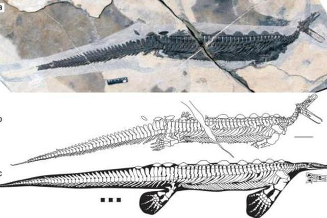"""湖北发现远古""""鸭嘴兽""""龙 距今约2.48亿年(图)"""