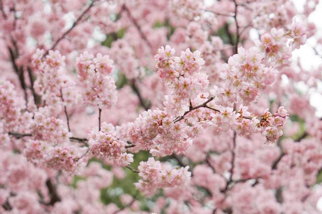 未来三天武汉多云到晴 武大樱花下周有望绽放